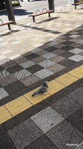 7974 - 任天堂(株) ゴハンをあげても〜なかなか〜輪に入れない鳩さんがいるので〜おまん亭は〜積極サポートしてきますよ〜!