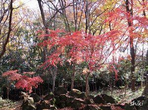 写真、楽しんでいますか~Part2 中央公園の名残のモミジです。 四季