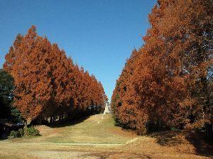 写真、楽しんでいますか~Part2 12月7日、立川昭和記念公園へ行った折の綺麗に黄葉したメタセコイアの並木です。  青梅