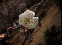 二刀流『短歌と俳句』(新・実作篇) 沙羅人さん、皆さんお早うございます。もう弥生三月 春もそこまできています花の季が楽しみですね。 沙羅
