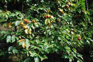 ★人生捨てたもんじゃないワ★ 郊外では秋が深まっている。 山際の道路を走っていたら柿が色づいていた。 小さなかわいらしい山の柿。