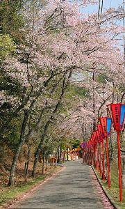 通りすがりOKいずれご一緒に♪ 龍野公園の桜並木です。立岩