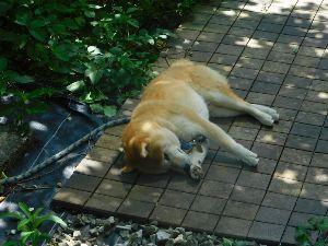 FX夜总会 usdjpy ーとりあえずー 昼間は丸を裏庭から表側の庭に移動させているが、あいつこの暑い中、わざわざ日を浴びている。 今、木陰に