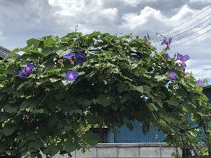 関東地方・・・お誘いの掲示板 あれから毎日咲いています。 <クリックすると拡大します。><https://ameblo.jp/go