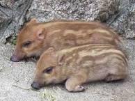 4901 - 富士フイルムホールディングス(株) 「売り豚」と言うとなんか醜く太ったイメージだが、 「売り坊(ウリ坊)」だと可愛い。