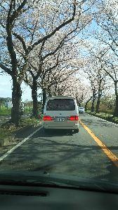 男女の垣根を超えて 仕事中 車の中から お花見  のんびり ゴザを広げて 楽しみたい  麦茶さん地方の お花見 行かれま
