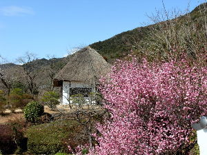 徒然なる団塊部屋   里山の山麓にある花梅がだいぶ開きました。                   しらん