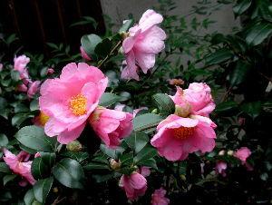 徒然なる団塊部屋  山茶花はツバキ科の落葉小低木、公園の生け垣や家庭の庭によく植えられていますが、四国や九州には自生の