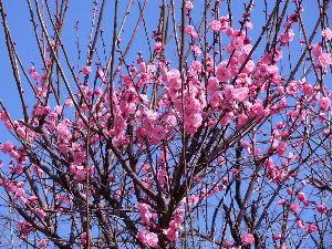 徒然なる団塊部屋  花梅は紅梅の一種でしょうか、あでやかなピンク色で早春の青空によく映えています。