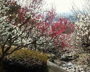 徒然なる団塊部屋  夕焼けさん、いま、こちらでは白梅、紅梅がまっ盛りです。 こんな懐かしい日本の風景は、いつまでも残し
