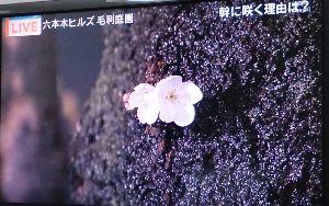 おもしろ北区・・== 本日、東京で桜が開花したそうですよ!