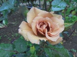 花と畑と、、、 こんにちは tiw*****さん。  バラはきれいですね、ほんとにきれい。 我が家では、パートナーが
