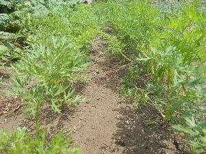 花と畑と、、、 こんにちは、花さん。  写真は、エシャロットです。 近くにラッキョウも育っています、親類でしょうか。