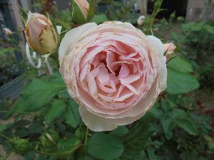 花と畑と、、、 おはよう、 tiwさん。  バラを植え始めたのは20年ほど前からです。  子どもたちの成長に合わせて