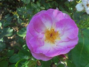 花と畑と、、、 庭で咲くバラ。  Thank you for your time♪