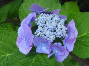 「鎧伝サムライトルーパー」が全盛期だった 【征士祝誕】  征士、お誕生日おめでとう。  この時期あちこちで見る紫陽花ですが、種類が色々あります