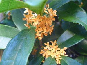「鎧伝サムライトルーパー」が全盛期だった 【当麻祝誕】  当麻、お誕生日おめでとう。  沈丁花の香りが春の訪れのように、金木犀の香りで秋を感じ