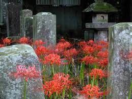 1357 - (NEXT FUNDS) 日経ダブルインバース上場投信 彼岸花がよく似合う。お墓とともに。