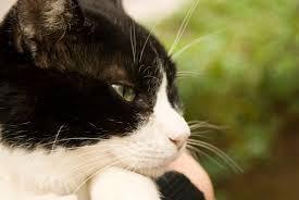 おたくのねこちゃんの写真を載せてください。 ベローン猫狩り人なんか 舐めつくせ