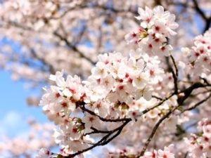 昨日★今日★明日 此方ももうじきですね〜 桜がさくの