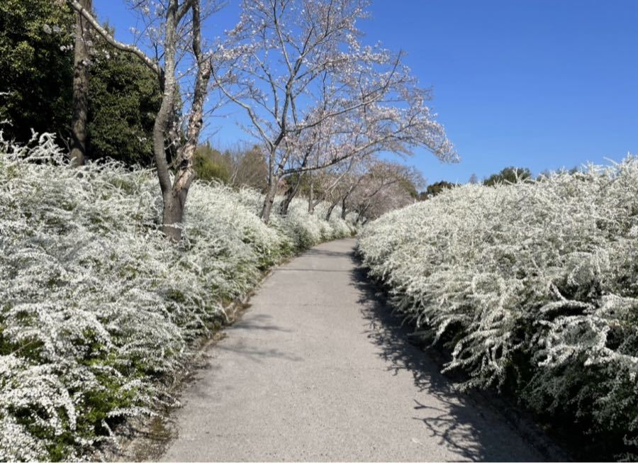 思いつくまま こんばんは♪ 今日のユキヤナギ・・・ 全開でした!! サクラも咲いてました! 真っ白に囲まれた道・・