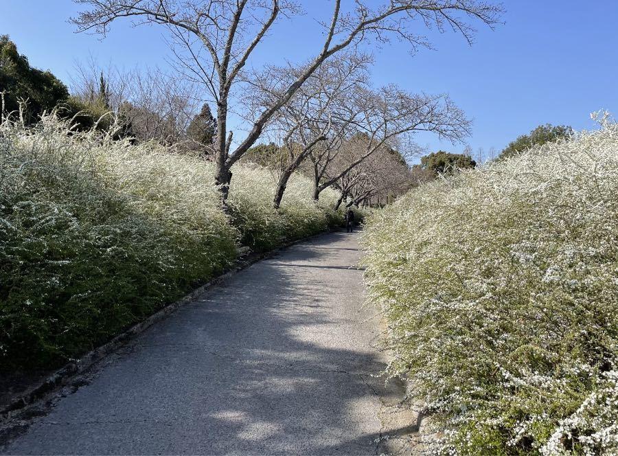 思いつくまま ご無沙汰しております。 ユキヤナギが綺麗に咲いて おりましたので・・ かなり遅れたホワイトデー・・
