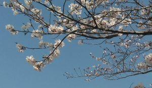 思いつくまま では、こちらの桜を