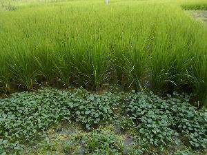 ★愛知・岐阜・三重、60代限定★ おはよう~~  このところの降雨 この時期には珍しい降雨量 これで畑が耕せそう  写真は近所の田圃