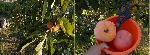 ★愛知・岐阜・三重、60代限定★ おはよう~~  我が家の柿木は3本 写真はそのうちの1本  品種は次郎柿 静岡県の苗から育てた木