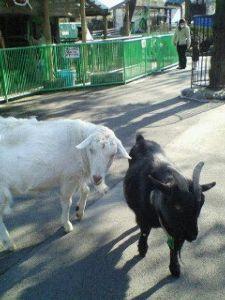 不登校で彼氏にフラれそうwww もう中2だよ( v^-゜)♪  紅茶とスイーツ のお礼☆ ゚・*:  近くの動物公園のヤギだよw