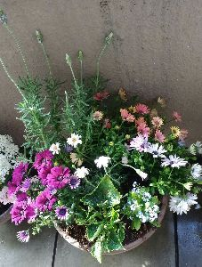 8267 - イオン(株) イオンで買った花(一部除く)やっと寄せ植えにしたよん♪ オステオスペルマムが欲しかったとここに書いた