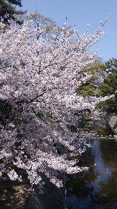 8267 - イオン(株) 夙川で花見してきたわ~ 甲子園から香露園~甲陽園まで歩いたった(笑) ツマガリでケーキ買ってイカリス