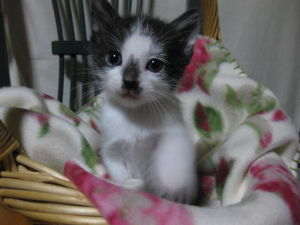 子猫の里親募集 子猫の 写真です。