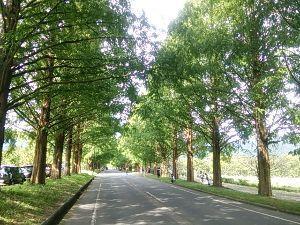 女性限定!平日休みの方一緒に走りませんか♪~尾張~ 先日滋賀県のメタセコイア並木まで行って来ました(^.^)  ずーと続くメタセコイアの並木道 とっても