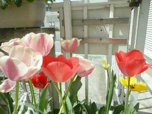 秘伝:黙黙煙 哲学する。 我が家の、玄関脇のプランターに  咲いた、チューリップです。 春ですね。^^