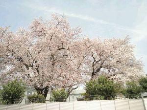 秘伝:黙黙煙 哲学する。 こんにちは。 良いお天気です。  近場ですが、『桜』を  見て参りました。 つくづく、「春が来たのだ