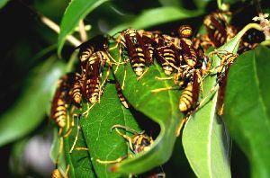 老いて華やか・・ 追伸 観葉植物に付いた蜂です