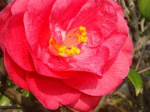 ***小さなしあわせ***   おはようございます。(^^♪    「つばき」も、咲いて、  春雨に濡れています。
