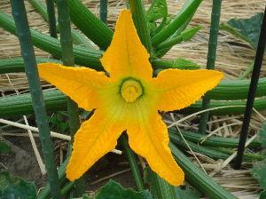 ***小さなしあわせ***      「雌花」です。       花も違いますが、   花の後ろには、大きな実がありますから、花