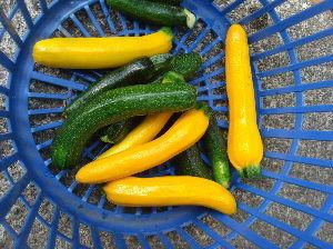 ***小さなしあわせ***     ズッキーニの「収穫」と、トマトの苗の「芽摘み」に行ってきました。     トマトの芽摘みは、