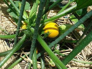 ***小さなしあわせ***  こんばんは。(^^♪    今日は、「ズッキーニの初物」を、採りました。(^O^)/   丸い実が
