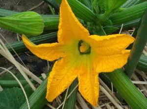 ***小さなしあわせ***  おはようございます。(^^♪   今日も、「ズッキーニ」の収穫が、楽しみで早起きです。(笑) だん