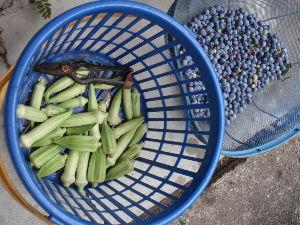 ***小さなしあわせ***    おはようございます。(^^♪      今日の「収穫日誌」です。    「ブルーベリー」は、ま