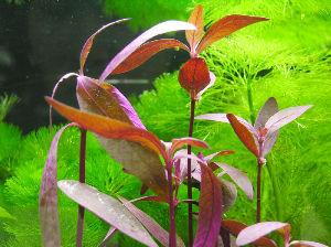 アクアリウム 水草 水草として売られているレッドグラス。 完全な陸上、つまり庭などに植えると、どんどん育ちますけどね。