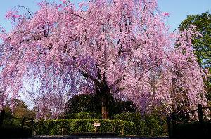 しりとりやろうぜ! 八重桜