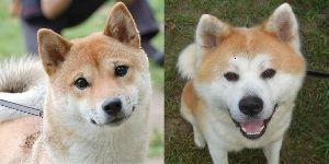 7707 - プレシジョン・システム・サイエンス(株) 左:柴犬 右:秋田犬、性格も微妙に違うよ。どっちも一人遊びが上手。秋田犬は、瞳が小さめなので、撫でて