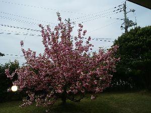 秋色紀行 近所の八重桜🌸 満開(^^)