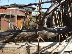 ブルーベリーやラズべりーなど プラムの芽やツボミが膨らんで来たので^^ もうじき接木しようと思います。