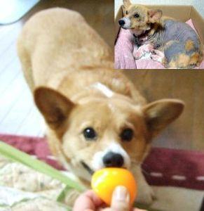 アカラスと診断されて こんばんは アカラスですか・・・ 我が家でもコーギー犬のメルがアカラスだと診断され、一時は安楽死も覚