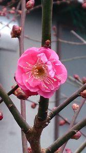 生きてる意味、存在する価値 紅梅が咲いていた。